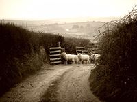 Image of Sheep Down the Lane